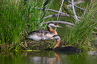 Pair of Red-necked Grebes (podiceps grisegena) tending a nest near Elk Island National Park, Alberta, Canada