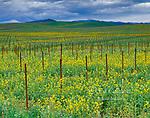Mustard, Vineyard, Carneros Appellation Sonoma County, California