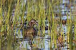 Wood Duck - Hen