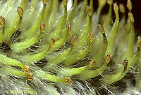 PW08-001c  Pussy Willow -  pistillate flowers (female) close-up - Salix discolor