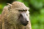 Olive Baboon (Papio anubis) female, Kibale National Park, western Uganda