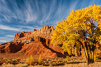 Autumn cottonwood and the Castle, Capitol Reef National Park, Utah