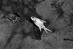 """Mekong Dam Victims - Thailand. A dead fish on the river shore. The building of the Pak Mun Dam in Thailand has lead to strong opposition by the local population as the number of fish and fish species in the river is dramatically reduced because of the dam, affecting more than 20,000 people. Known as """"The Mother of Waters"""", more than 60 million people depend on the Mekong river and its tributaries for food, fresh water, transport and other aspects of daily life. The construction of big dams is now threatening the life of these people aswell as the vital and unique ecosystem of the river."""