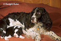 SH21-008z  Dog - nursing English Springer puppies just born, 8 hours old