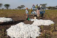 TANZANIA, Meatu, loading of cotton harvest on cart / TANSANIA, Baumwollernte in Meatu, Verladung der Baumwolle auf Karren