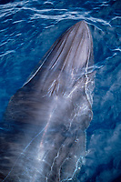 Bryde's whale, Balaenoptera edeni, showing 3 ridges on head that distinguish it from similar species, off South Africa