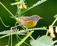 Adult female Nashville warbler