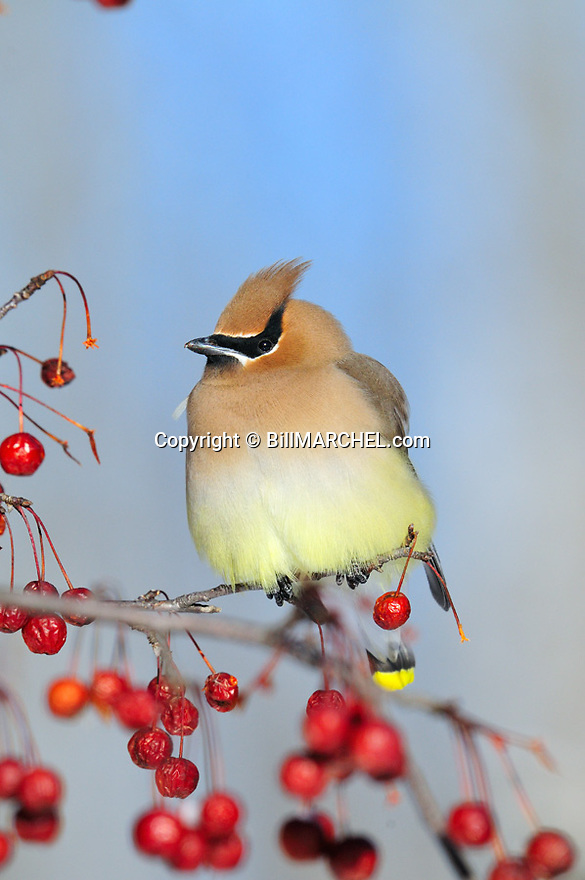 00165-012.19 Cedar Waxwing pauses while feeding on crab apples.  Landscape, red splendor, food, survive, fruit.
