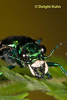 1C35-576z Six-spotted Green Tiger Beetle close-up of face, compound eyes, and jaws, Cicindela sexguttata