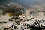 Pumpkinseed male guardian on nest with eggs.