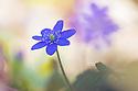 Hepatica nobilis flowering in woodland. Slovenia, March.