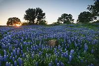 Texas Bluebonnet (Lupinus texensis), mixed wildflower field, Llano, Texas, USA