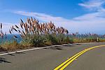 Pampas Grass (Cortaderia selloana) growing along the Pacific Coast Highway, near Bodega Bay, California