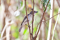 Grey Whistler female (Brown race per Bruce Knight), Lee Point, Darwin, NT, Australia