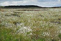 Cotton grass, Hexham, Northumberland.