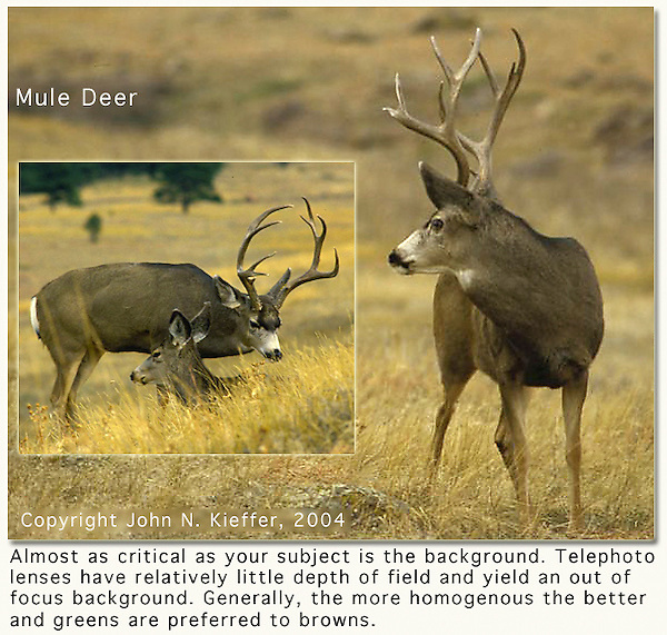 Mule deer are often seen on the drive up to NCAR, overlooking Boulder valley. <br />