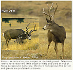 """Mule deer are often seen on the drive up to NCAR, overlooking Boulder valley. <br /> From John's 3rd book, """"Mastering Nature Photography."""" Private, photo tours led by John Kieffer. John leads private, photo tours throughout Colorado, including Denver and Boulder."""