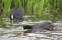 American coots can be fairly aggressive when it comes to territorial and courtship rituals.