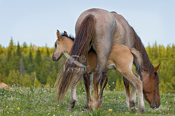 Wild Horse or feral horse (Equus ferus caballus) mare with colt.  Western U.S., summer.  Colt is being playful.