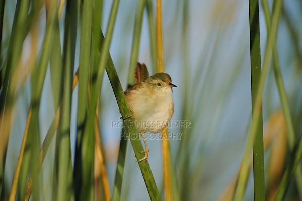 Marsh Wren (Cistothorus palustris), adult in reeds, Fennessey Ranch, Refugio, Corpus Christi, Coastal Bend, Texas Coast, USA
