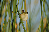 Marsh Wren (Cistothorus palustris), adult in reeds, Fennessey Ranch, Refugio, Corpus Christi, Coastal Bend, Texas Coast, USA