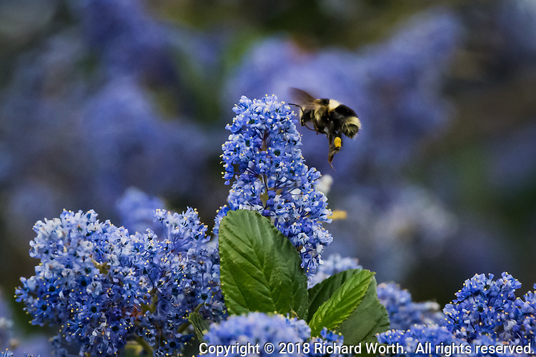 A bumble bee goes about its business, pollinating flowers at the Martin Luther King Jr. Regional Shoreline near the Oakland International Airport.
