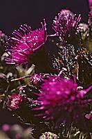 Europe/France/Auvergne/15/Cantal/Parc Naturel Régional des Volcans: Détail fleurs sur le massif du Puy Mary (1787 mètres)