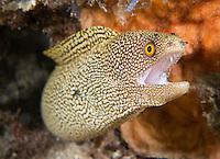 Golden Tail Moray Eel.
