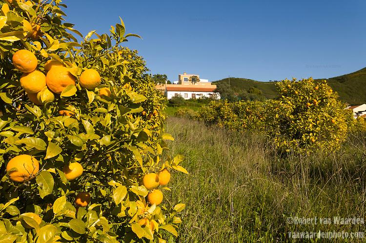 Orange trees in the hills of the Algarve region of Portugal.