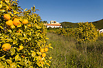 Orange trees in the hills of the Algarve region of Portugal.