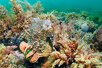 giant cuttlefish, Sepia apama, world's largest cuttlefish species, camouflaged among algae and corals at breeding aggregation, Point Lowly, Whyalla, South Australia, Australia, Spencer Gulf