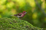 Purple Finch - Male