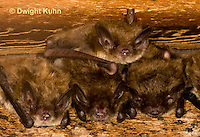 MA20-547z  Little Brown Bats, Myotis lucifugus