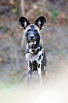 Adult painted hunting dog / African wild dog (Lycaon pictus) on the banks of the Luangwa River, South Luangwa National Park, Zambia, October