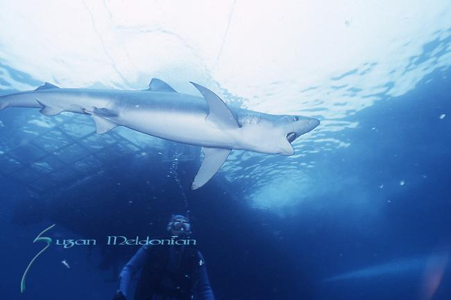 California Blue Shark, Prionace glauca mouth open