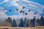 Canada Geese in flight in the Bitterroot Valley in Montana
