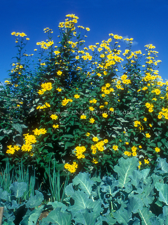 Jerusalem artichokes Helianthus tuberosus in bloom with broccoli in vegetable garden against blue sky