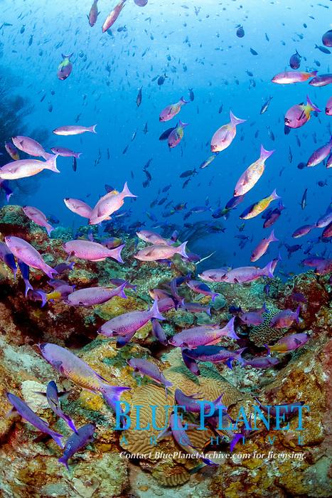 School of purple creole wrasse, Clepticus parrae, St. Lucia, Caribbean, Atlantic