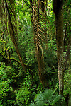 Semi-deciduous tropical moist rainforest mid-story, Panama Rainforest Discovery Center, Gamboa, Panama