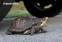 1003-0804  Male Eastern Box Turtle Crossing Paved Road Under Car and Tires - Terrapene carolina © David Kuhn/Dwight Kuhn Photography.