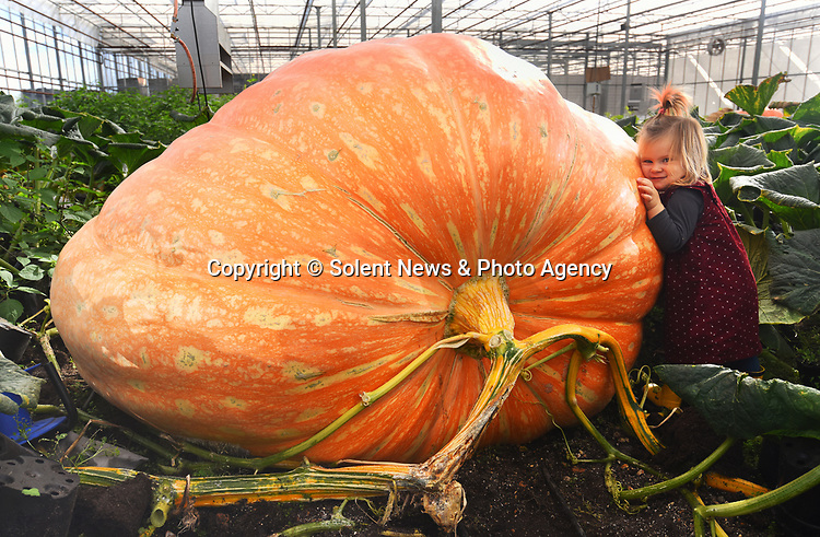 Pictured : Martha Syrett (2) with one of her grandad's giant pumpkins which has been grown at Pinetops Nursery in Hampshire.<br /> <br /> Twin brothers who spend six hours each day tending to their pumpkins believe they are about to smash a world record by growing one weighing more than 188 stones (1,194kg).   Stuart and Ian Paton, 59, use over 150 gallons of water every day to help their gigantic squashes flourish - increasing the weight by over 55lbs every 24 hours at their peak.<br /> <br /> The British growers said their favourite for this year already weighs more than a tonne at an extraordinary 2,270lbs (162 stone) and has a circumference of 19ft 10 inches after just 87 days of growth.   The brothers are the current UK record holders, with a pumpkin they grew last year weighing an impressive 174 stone (2436 lbs).   SEE OUR COPY FOR DETAILS <br /> <br /> © Roger Arbon/Solent News & Photo Agency<br /> UK +44 (0) 2380 458800