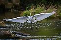 September 30, 2011 / Strawbridge Lake Herron Photos / Photo by Bob Laramie