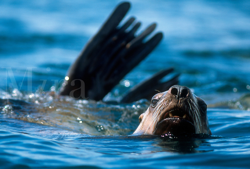 A stellar sea lion curiously approaches, Berners Bay in southeast Alaska.
