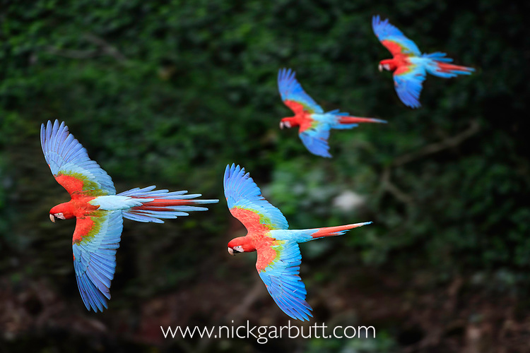 Two pairs of red-and-green macaws or green-winged macaws (Ara chloropterus) (Family Psittacidae) in flight over forest canopy. Buraco das Araras (Sinkhole of the Macaws), Jardim, Mato Grosso do Sul, Brazil. September.