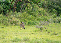 Male Common Waterbuck, Kobus ellipsiprymnus, in Arusha National Park, Tanzania
