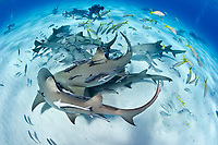 Lemon shark, Negaprion brevirostris, feeding frenzy, Bahamas, Caribbean, Atlantic
