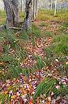 Colorful birch leaves along the Jesup Trail in autumn in Acadia National Park, Maine, USA