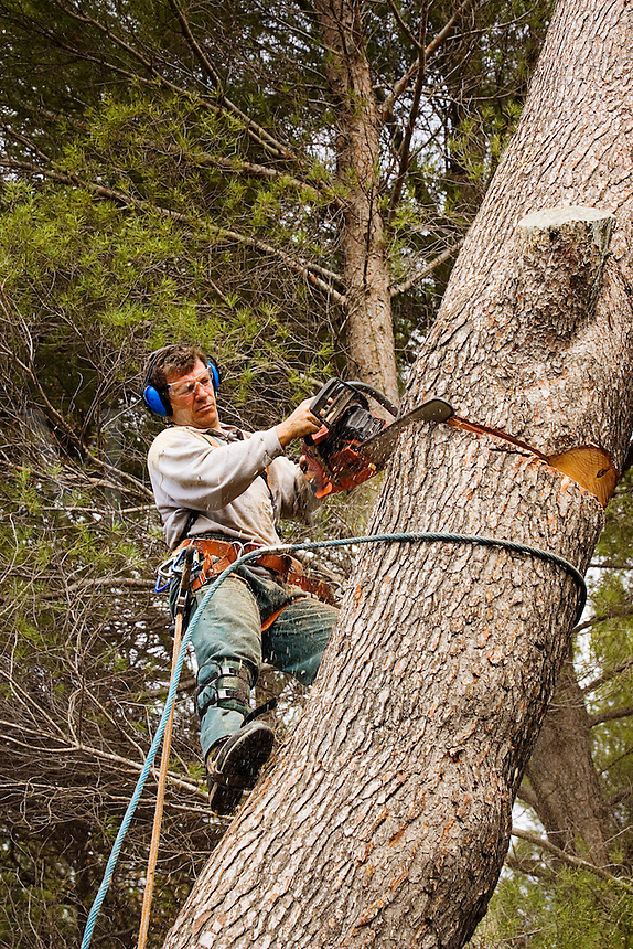Forestry worker, tree surgeon, at work on large pine tree. Model released.