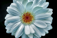 Close up of Gerbera Daisy. Oregon