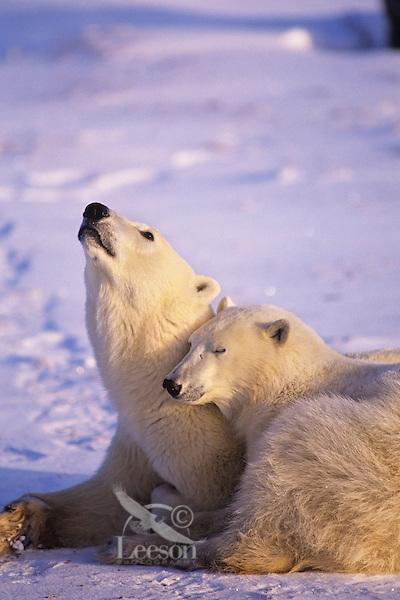 Polar bear (Ursus maritimus) sow with yearling cub.
